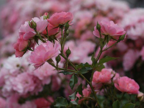 Nova Gorica, la città delle rose