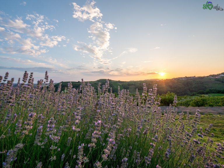 Uno splendido tramonto sui campi di lavanda