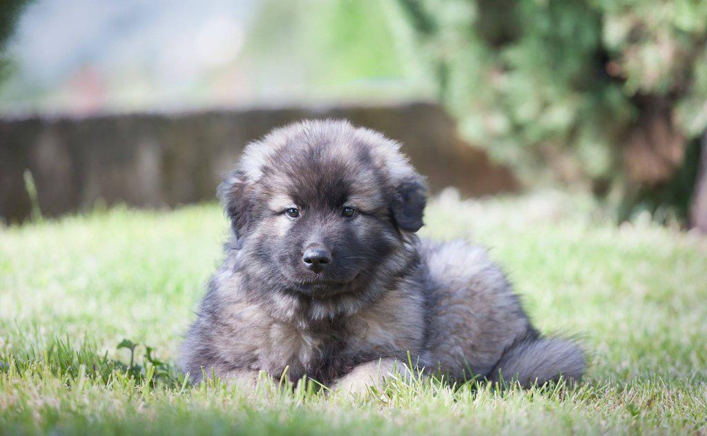 Un bellissimo cucciolo di Kraški ovčar