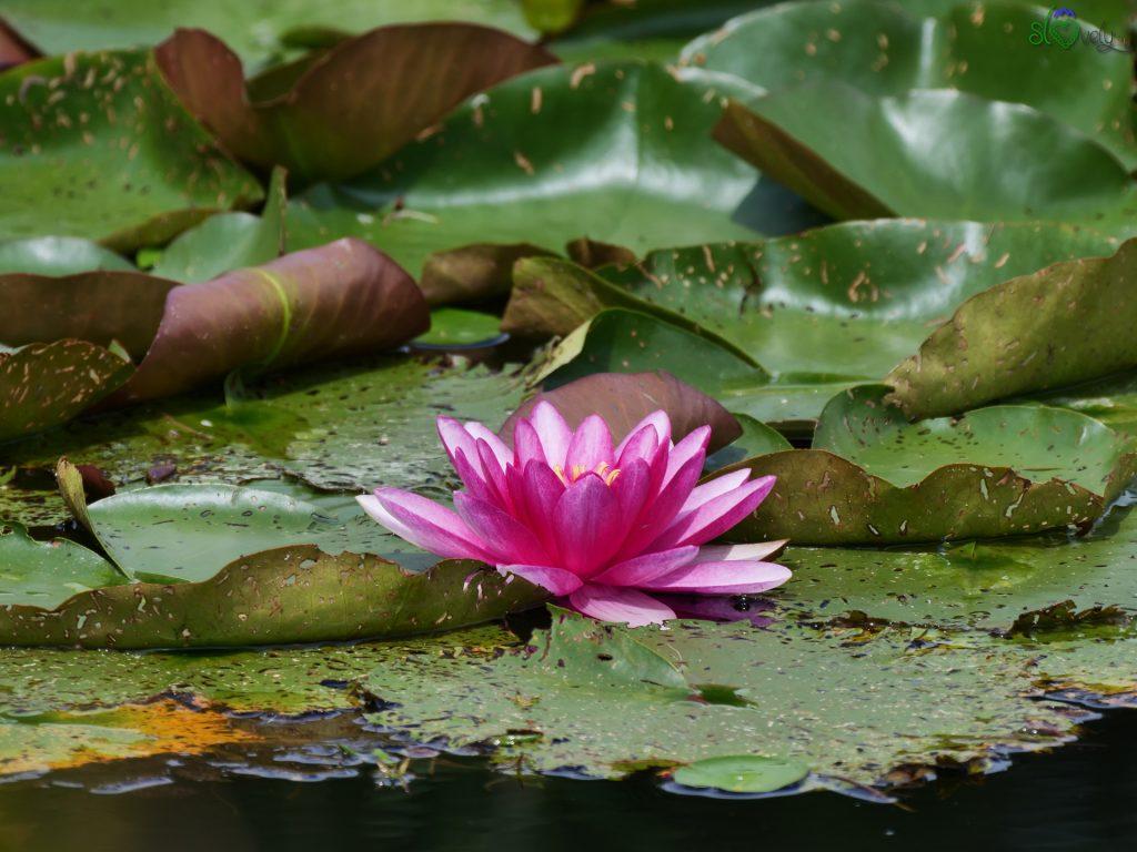 Meravigliosi fiori di loto negli stagni.
