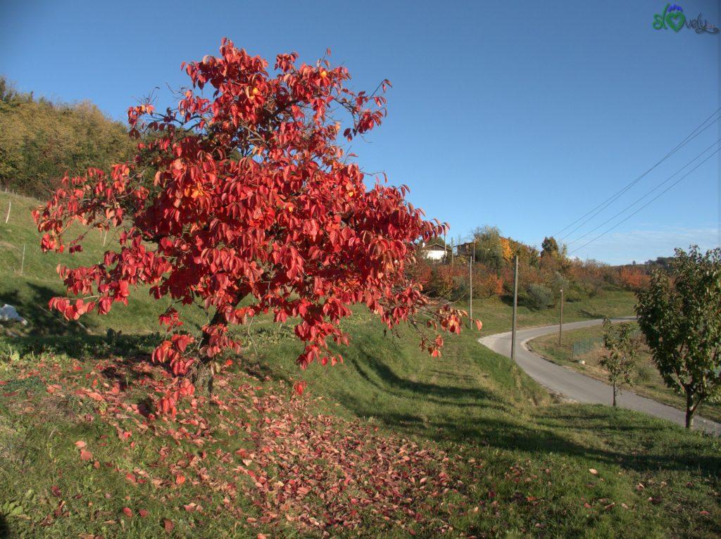 Tra le strade di Brda gli alberi si tingono di rosso!