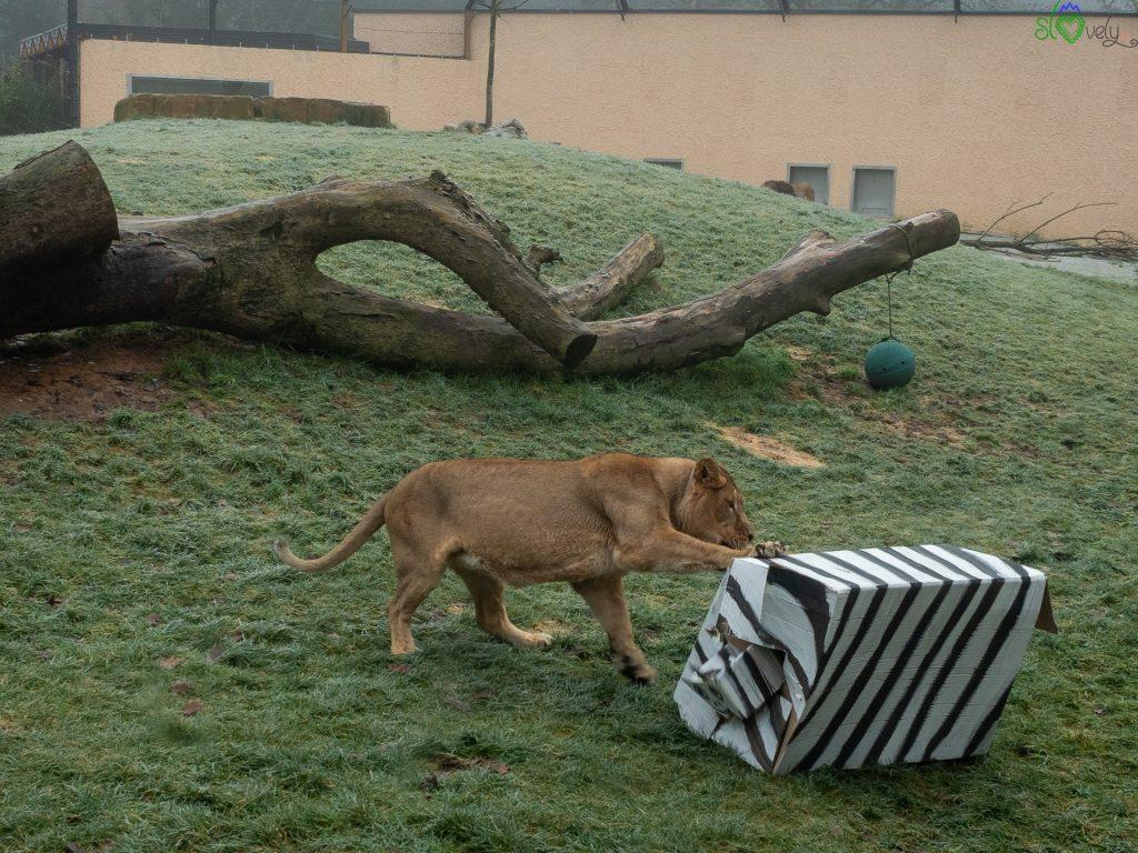 """La leonessa """"sbrana"""" la zebra di cartone con dentro il suo regalo! - Zoo Ljubljana"""