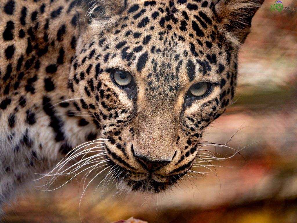 Lo splendido leopardo della Persia dello Zoo di Ljubljana.