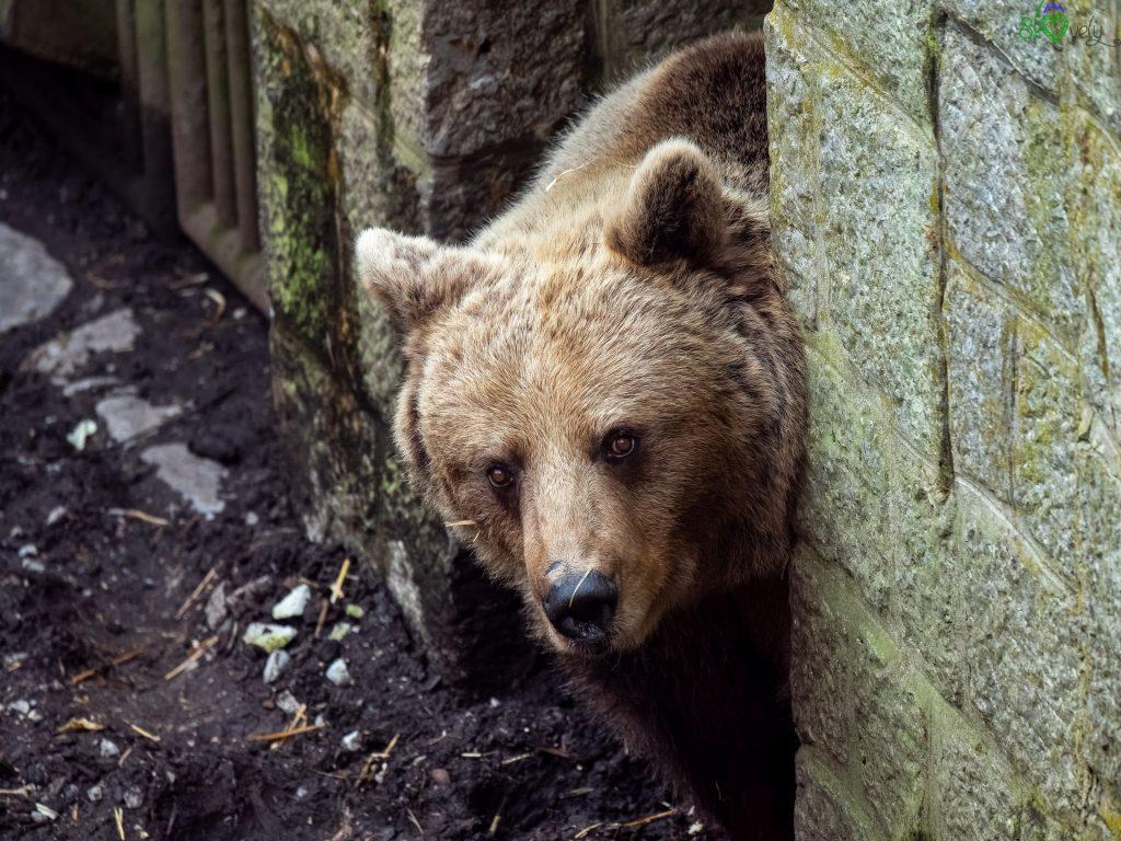 Uno splendido orso bruno. - Zoo Ljubljana
