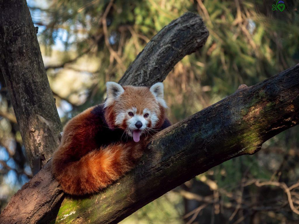 I bellissimi panda rossi. - Zoo Ljubljana