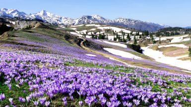 Velika Planina - Crocus