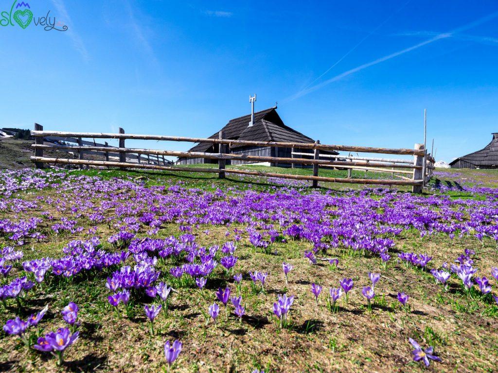 Le case dei pastori di Velika Planina circondate dai crocus.