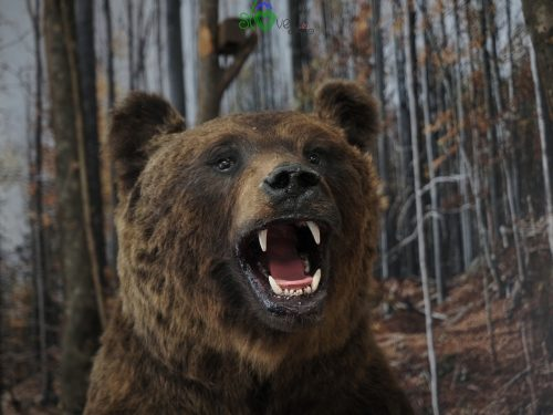 Un orso bruno tipico del Carso.
