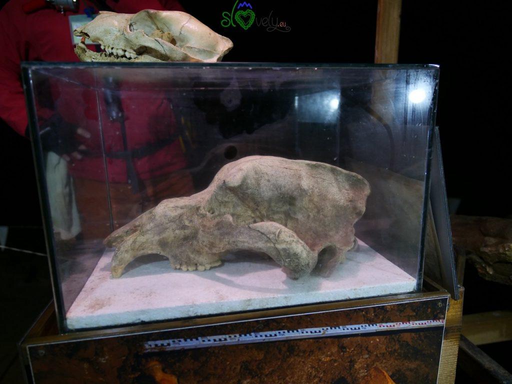 L'enorme cranio dell'orso preistorico (in alto quello di un orso attuale).