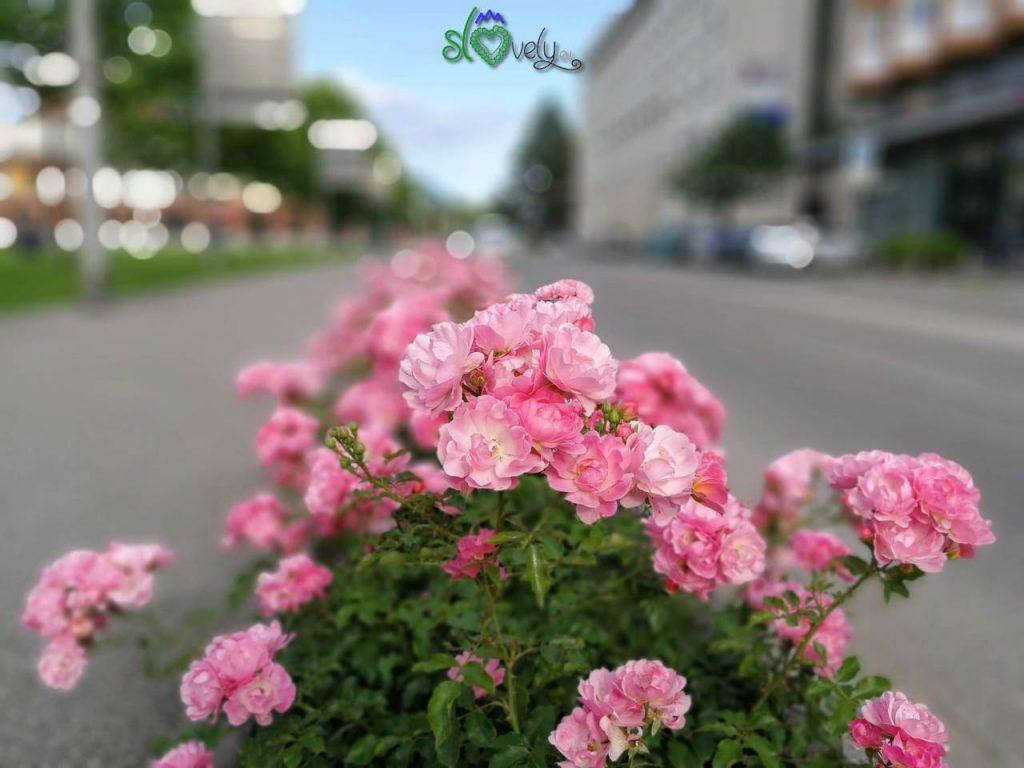 Le rose simbolo di Nova Gorica.