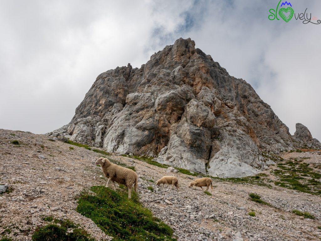 Fino quasi alla Kredarica è normale incontrare queste avventurose pecorelle!