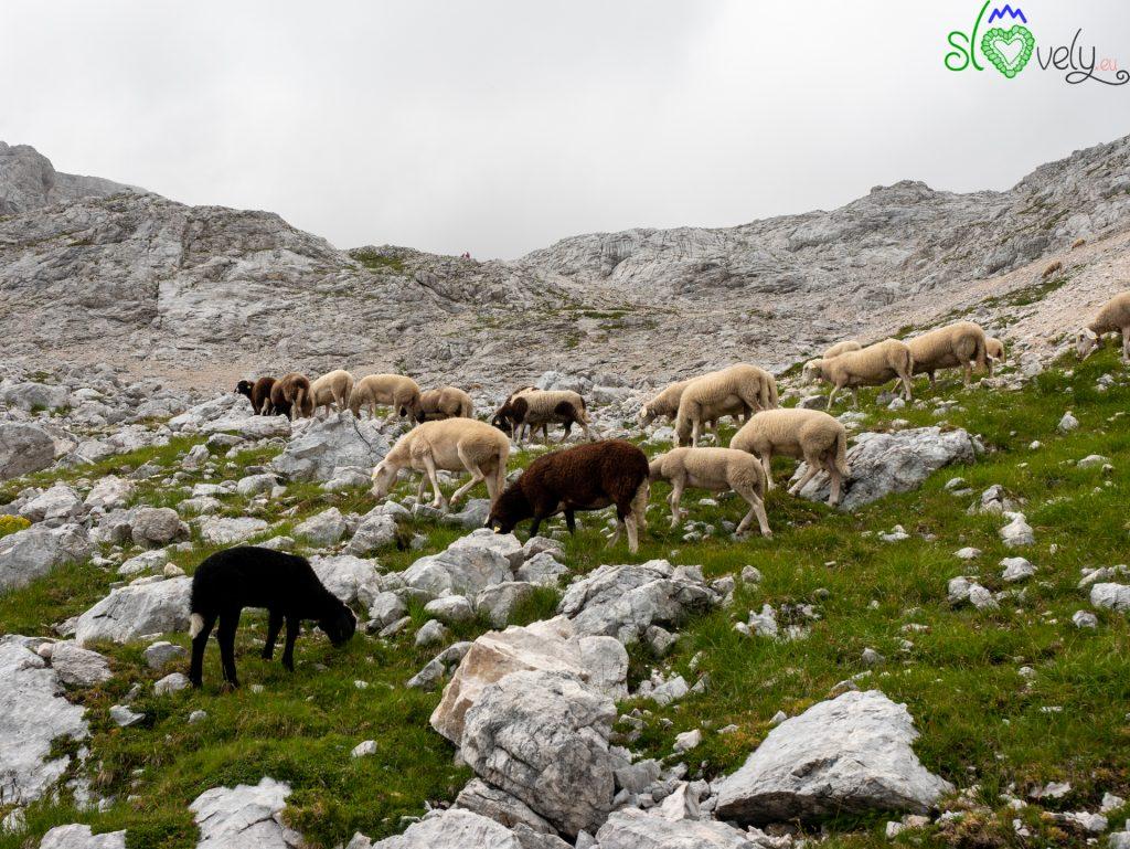 Le pecore del Triglav, incuranti del freddo e delle rocce.