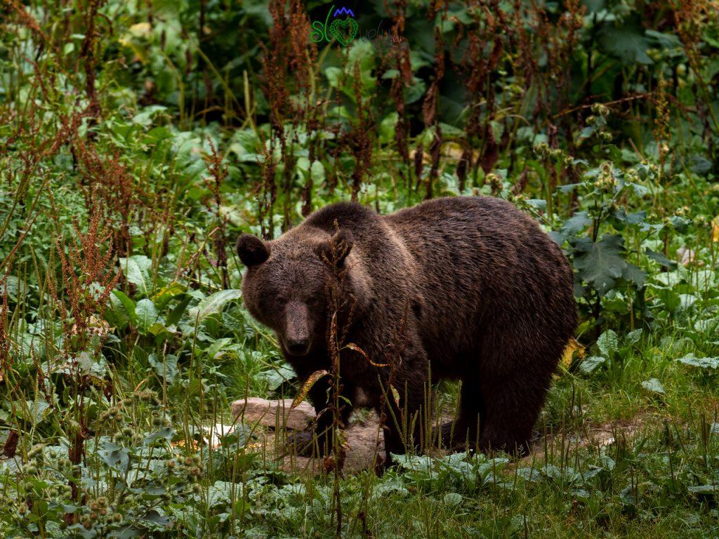 L'orso bruno, una creatura meravigliosa.