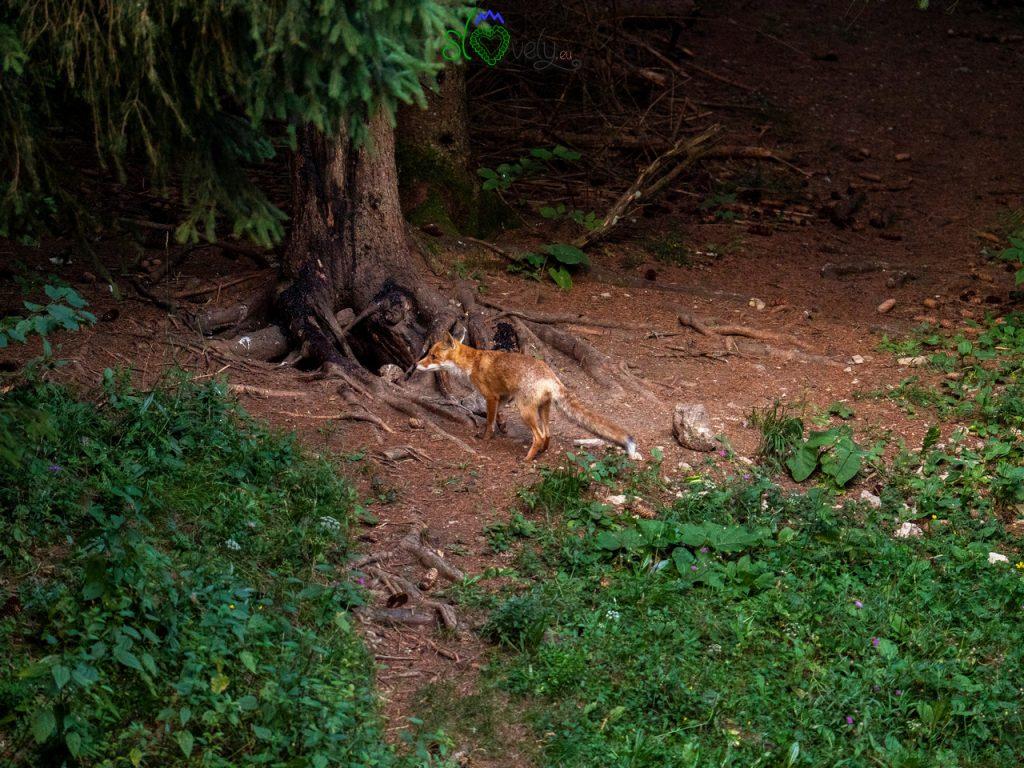 Una volpe arriva e subito scappa alla vista degli orsi!